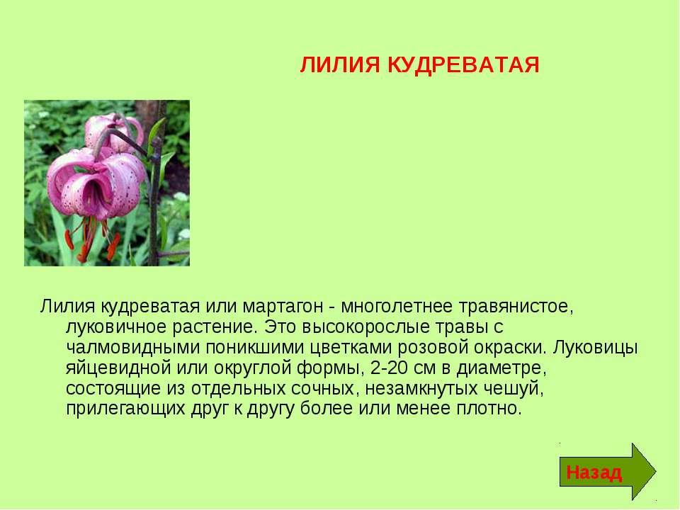 ЛИЛИЯ КУДРЕВАТАЯ Лилия кудреватая или мартагон - многолетнее травянистое, лук...