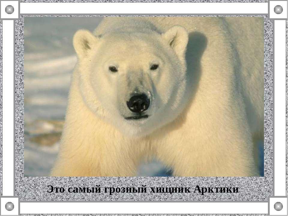 Это самый грозный хищник Арктики