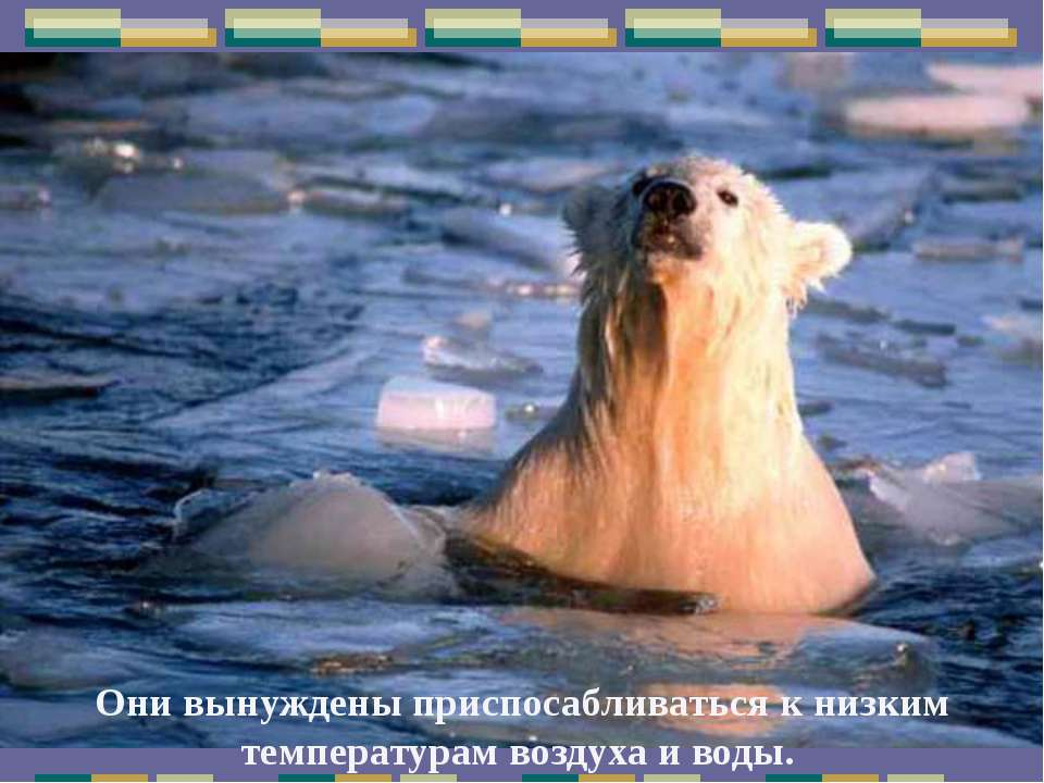 Они вынуждены приспосабливаться к низким температурам воздуха и воды.