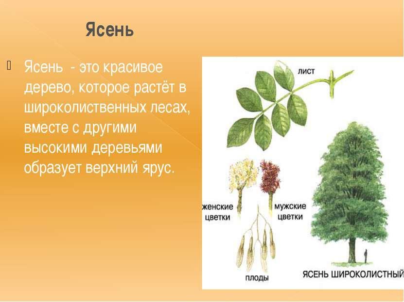 Ясень Ясень - это красивое дерево, которое растёт в широколиственных лесах, в...
