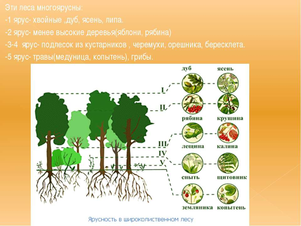 Эти леса многоярусны: -1 ярус- хвойные ,дуб, ясень, липа. -2 ярус- менее высо...