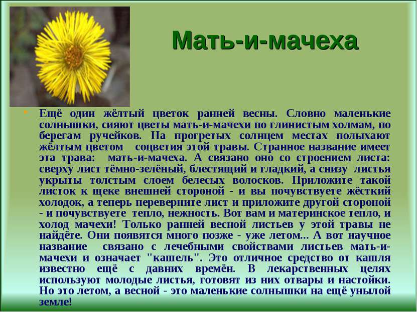 Мать-и-мачеха Ещё один жёлтый цветок ранней весны. Словно маленькие солнышки,...