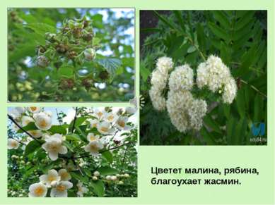 Цветет малина, рябина, благоухает жасмин.