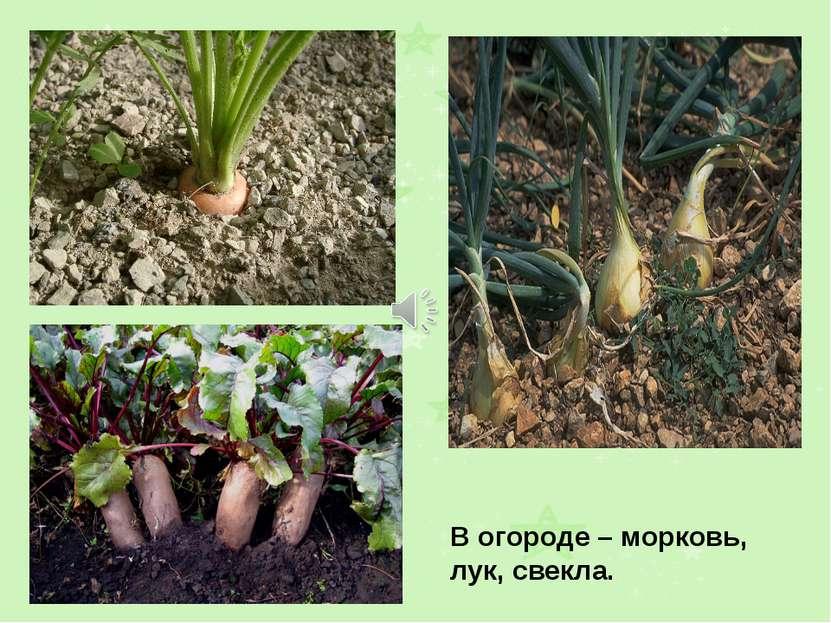 В огороде – морковь, лук, свекла.
