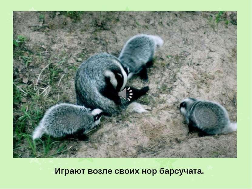 Играют возле своих нор барсучата.