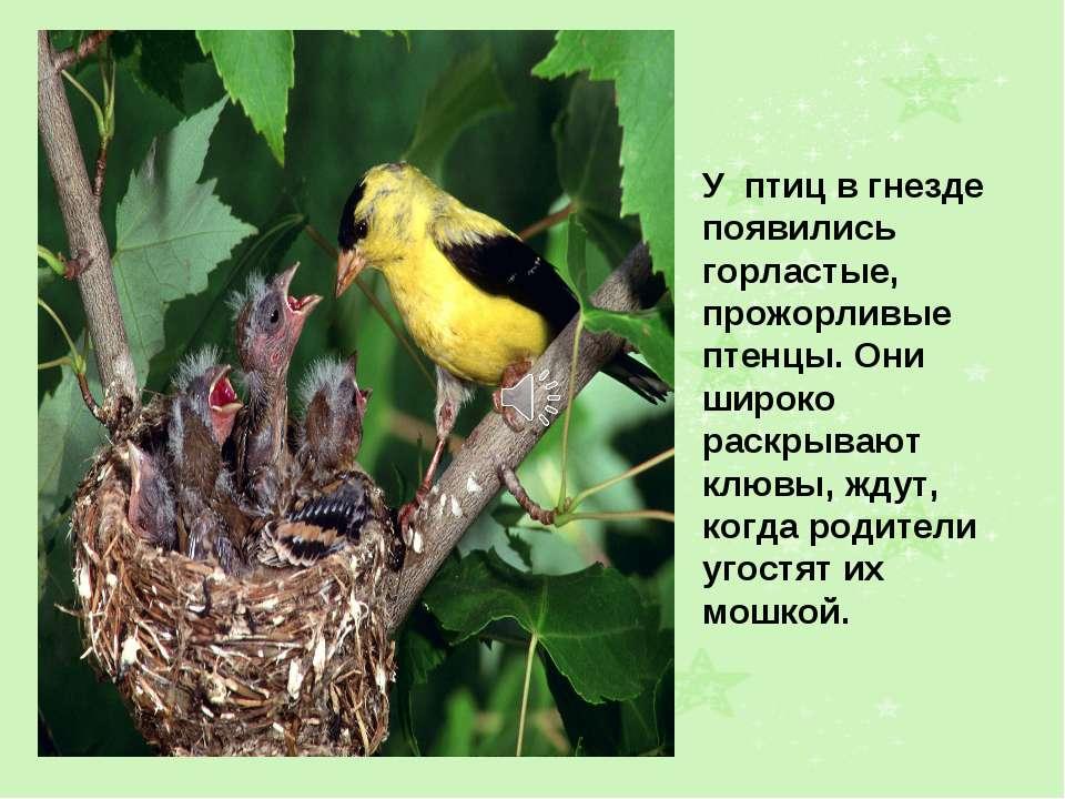 У птиц в гнезде появились горластые, прожорливые птенцы. Они широко раскрываю...