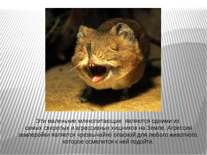 Этималенькиемлекопитающиеявляютсяоднимииз самыхсвирепыхиагрессивных...
