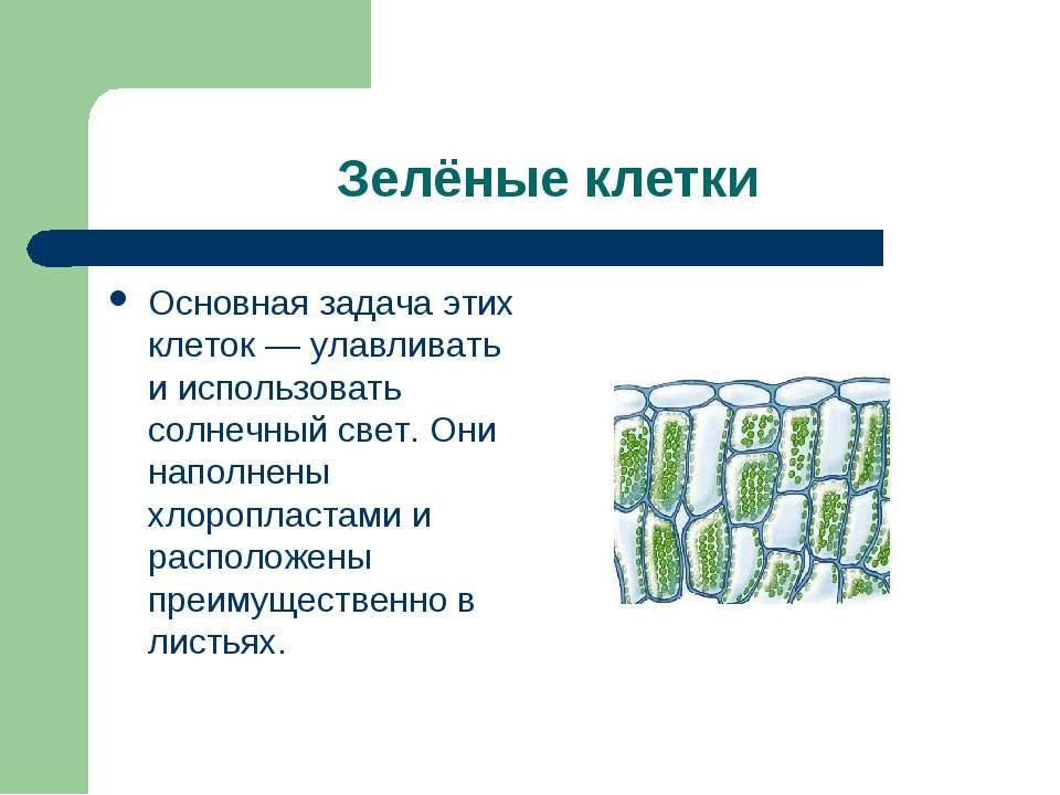 Зелёные клетки Основная задача этих клеток — улавливать и использовать солнеч...