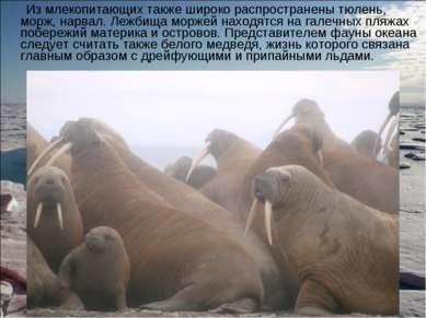 Из млекопитающих также широко распространены тюлень, морж, нарвал. Лежбища мо...