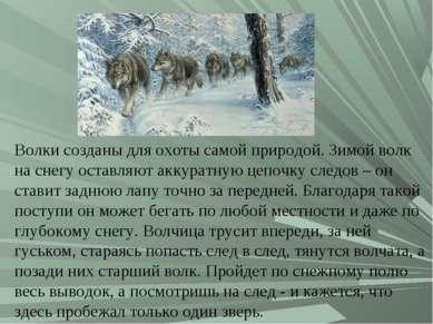 Волки созданы для охоты самой природой. Зимой волк на снегу оставляют аккурат...