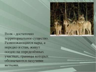 Волк- достаточно территориальное существо. Размножающиеся пары, а нередко и ...