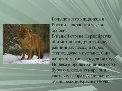 Больше всего хищников в России – около ста тысяч особей. В нашей стране Серая...