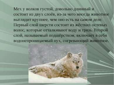 Мех у волков густой, довольно длинный и состоит из двух слоёв, из-за чего ино...
