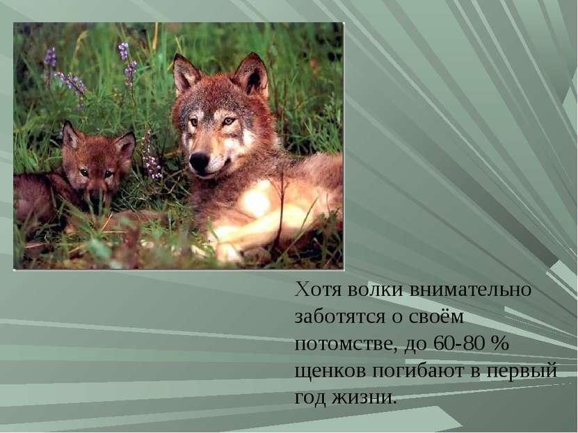 Хотя волки внимательно заботятся о своём потомстве, до 60-80% щенков погибаю...