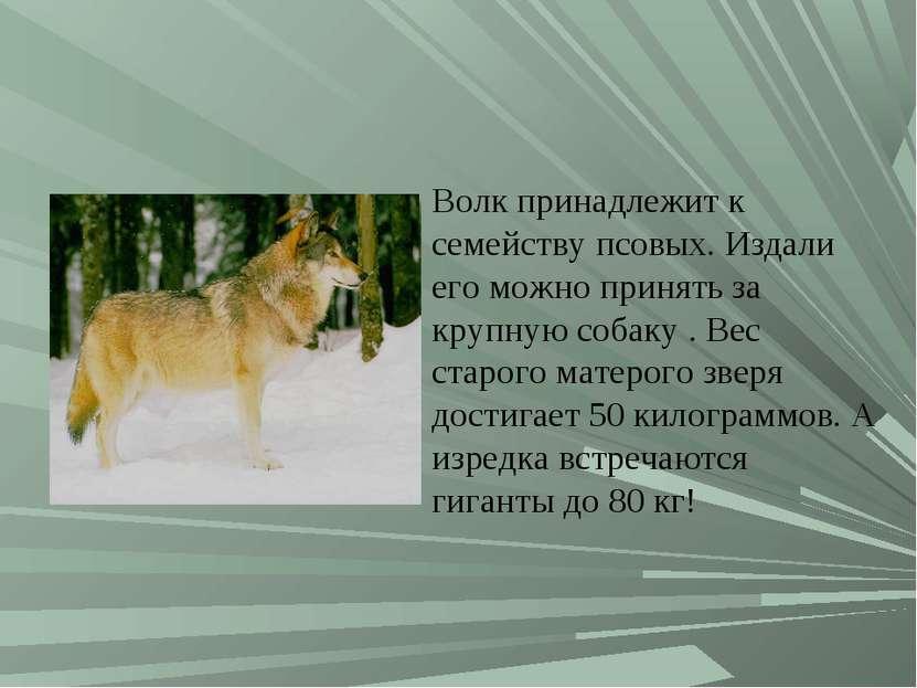 Волк принадлежит к семейству псовых. Издали его можно принять за крупную соба...