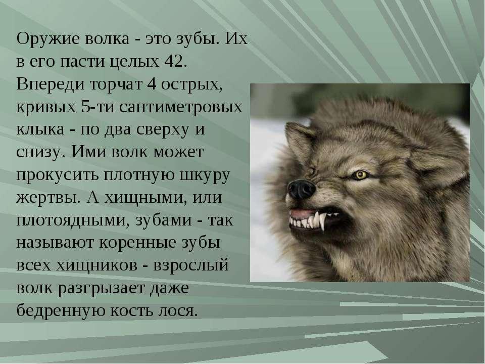 Оружие волка - это зубы. Их в его пасти целых 42. Впереди торчат 4 острых, кр...