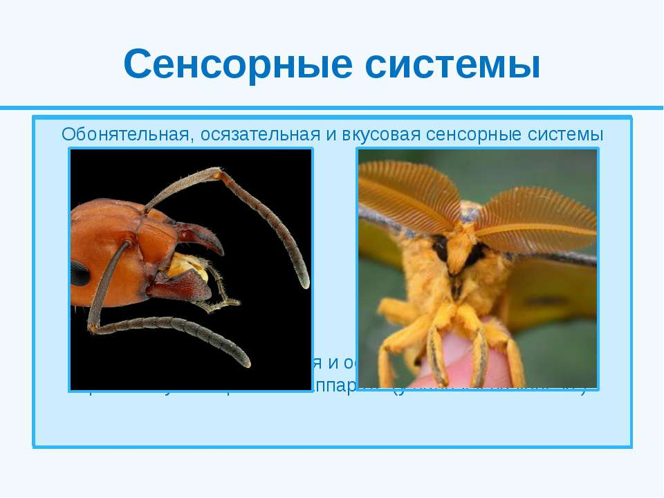 Сенсорные системы Жизнедеятельность насекомых сопровождается обработкой звуко...