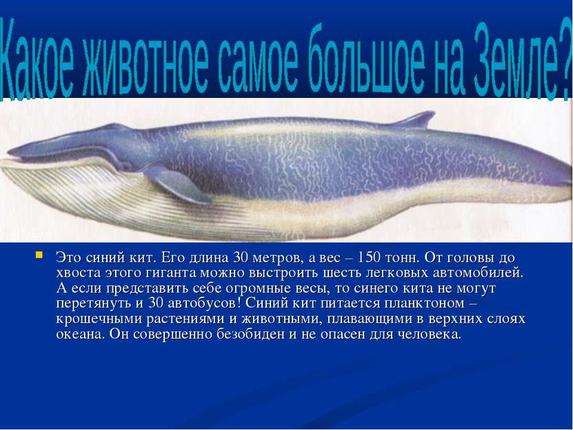 Это синий кит. Его длина 30 метров, а вес – 150 тонн. От головы до хвоста это...