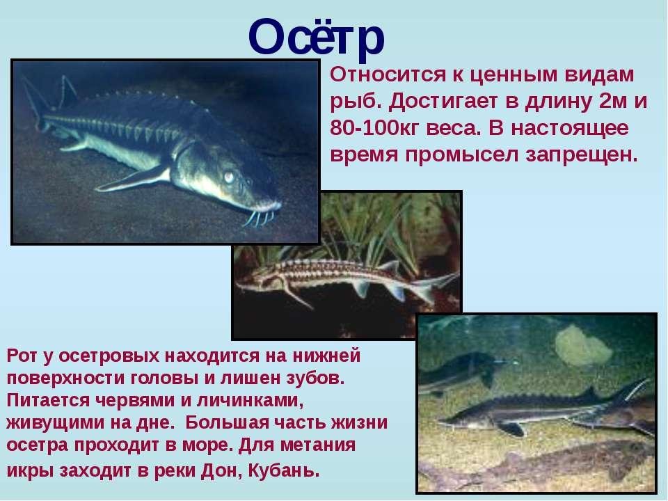 Осётр Относится к ценным видам рыб. Достигает в длину 2м и 80-100кг веса. В н...
