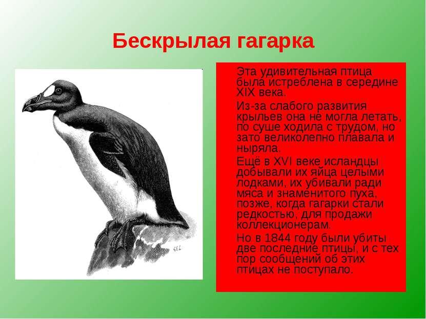 Бескрылая гагарка Эта удивительная птица была истреблена в середине XIX века....