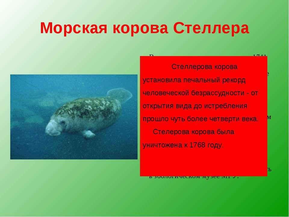 Морская корова Стеллера Впервые это животное открыл в 1741 году Георг Стеллер...