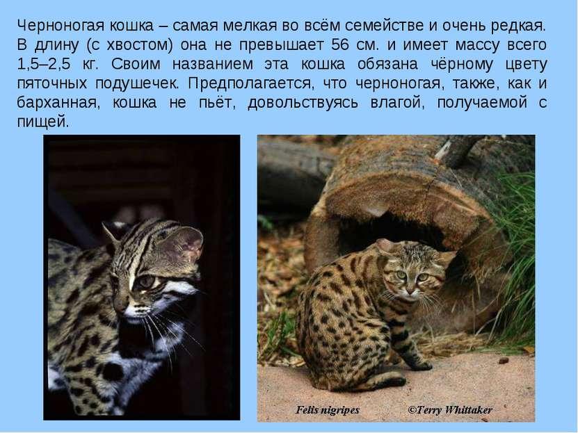 Черноногая кошка – самая мелкая во всём семействе и очень редкая. В длину (с ...