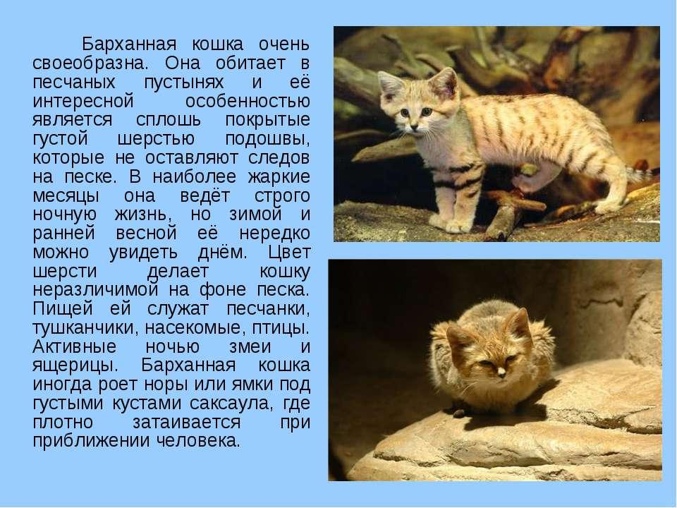 Барханная кошка очень своеобразна. Она обитает в песчаных пустынях и её интер...
