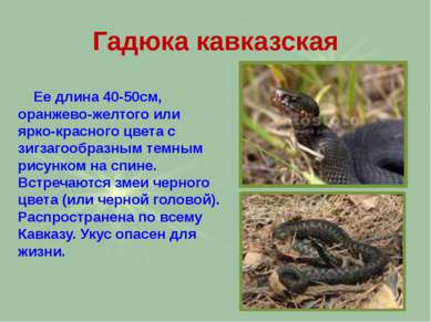 Гадюка кавказская Ее длина 40-50см, оранжево-желтого или ярко-красного цвета ...
