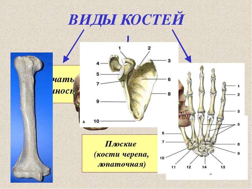 ВИДЫ КОСТЕЙ Трубчатые (конечности) Губчатые (тела позвонков, грудина, кости с...