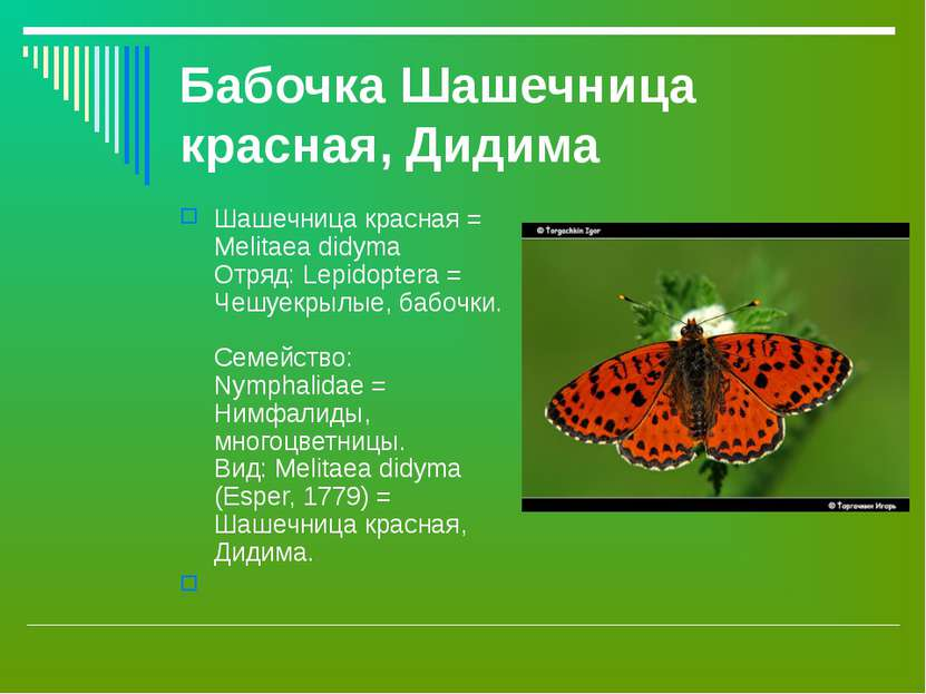 Бабочка Шашечница красная, Дидима Шашечница красная = Melitaea didyma Отряд: ...