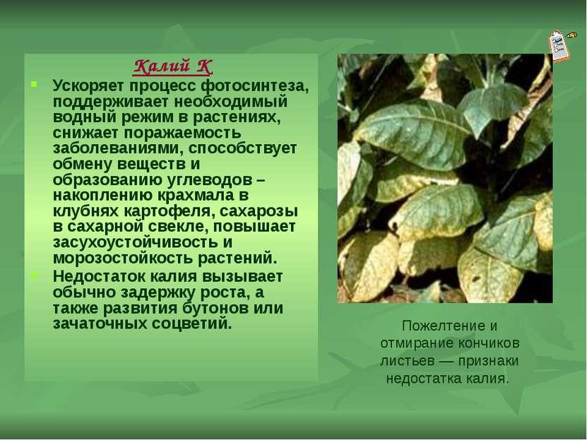 Калий К Ускоряет процесс фотосинтеза, поддерживает необходимый водный режим в...