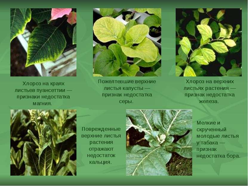 Хлороз на краях листьев пуансеттии— признаки недостатка магния. Поврежденные...