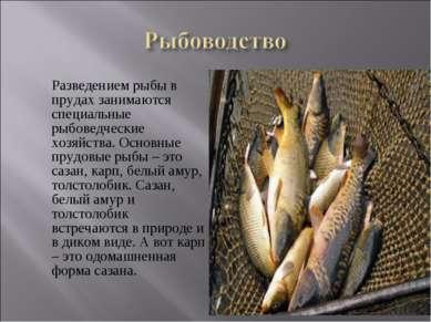 Разведением рыбы в прудах занимаются специальные рыбоведческие хозяйства. Осн...