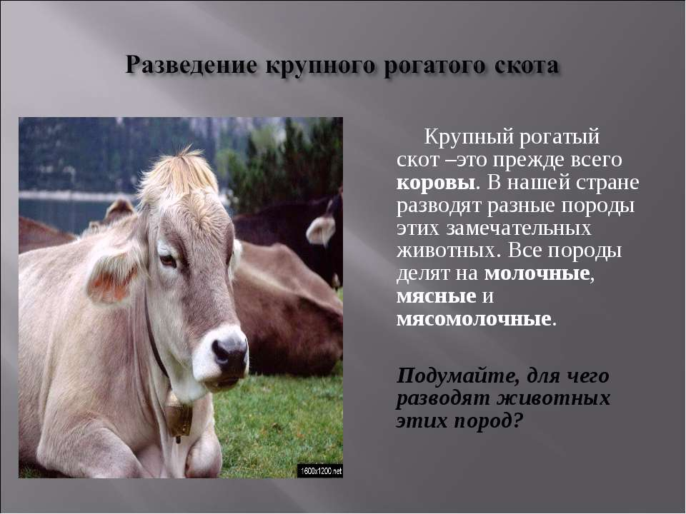Крупный рогатый скот –это прежде всего коровы. В нашей стране разводят разные...
