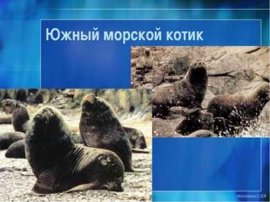 Южный морской котик Николаева С.Б.®