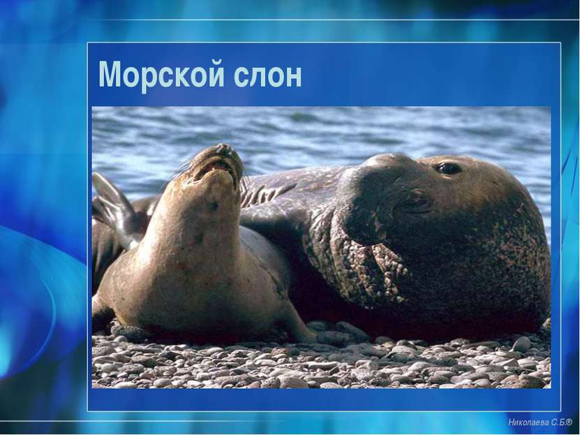 Морской слон Николаева С.Б.®