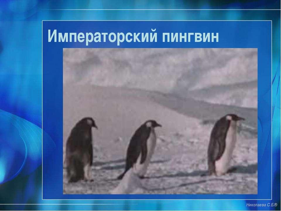 Императорский пингвин Николаева С.Б.®