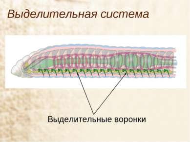 Выделительная система Выделительные воронки