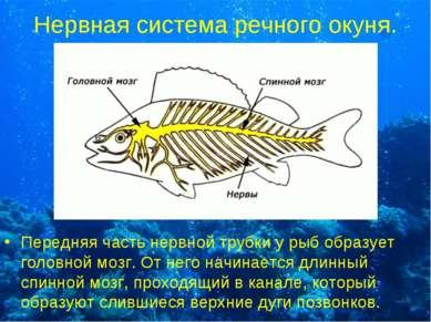Нервная система речного окуня. Передняя часть нервной трубки у рыб образует г...
