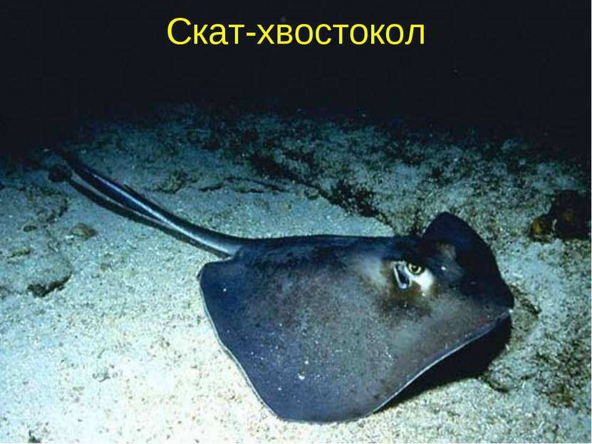 Скат-хвостокол
