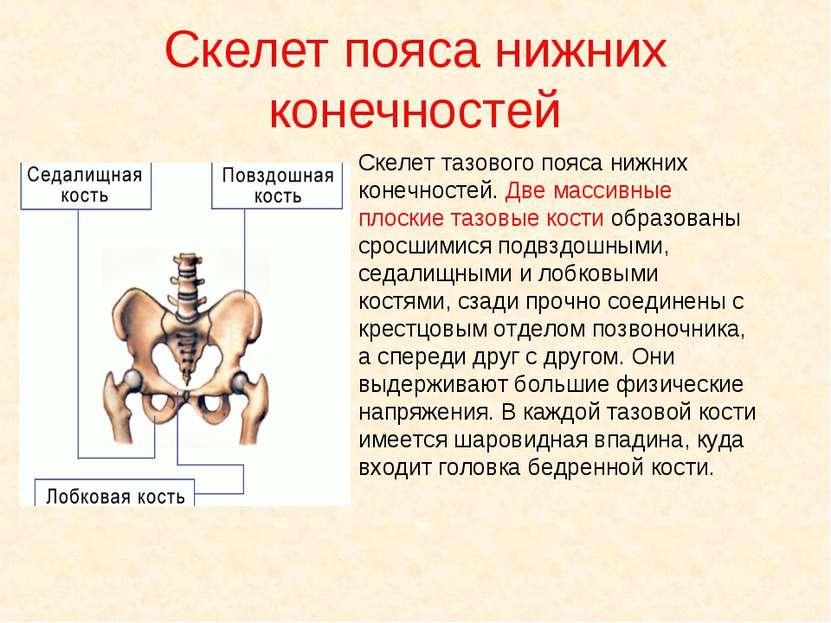 Скелет тазового пояса нижних конечностей. Две массивные плоские тазовые кости...