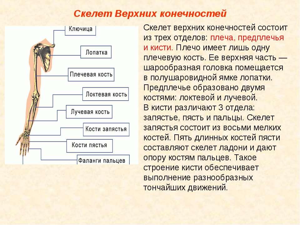Скелет Верхних конечностей Скелет верхних конечностей состоит из трех отделов...