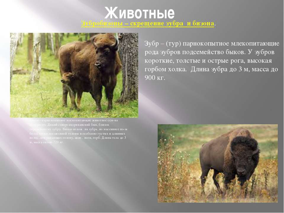 Животные Бизон - парнокопытное млекопитающие животное сем-ва полорогих. Дикий...