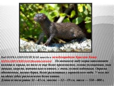 Вид НОРКА ЕВРОПЕЙСКАЯ занесён в международную Красную Книгу НОРКА ЕВРОПЕЙСКАЯ...