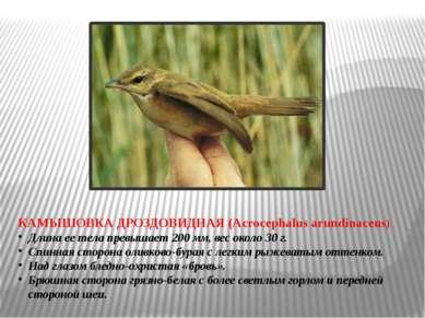 КАМЫШОВКА ДРОЗДОВИДНАЯ (Acrocephalus arundinaceus) Длина ее тела превышает 20...