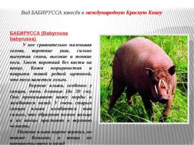 БАБИРУССА (Babyrousa babyrussa) У нее сравнительно маленькая голова, короткие...