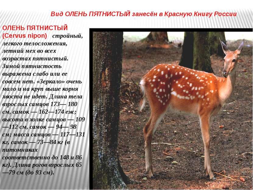 ОЛЕНЬ ПЯТНИСТЫЙ (Cervus nipon) стройный, легкого телосложения, летний мех во ...