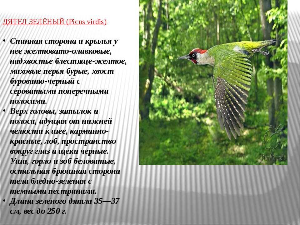 ДЯТЕЛ ЗЕЛЁНЫЙ (Picus virdis) Спинная сторона и крылья у нее желтовато-оливков...