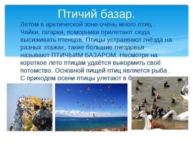 Птичий базар. Летом в арктической зоне очень много птиц . Чайки, гагарки, пом...