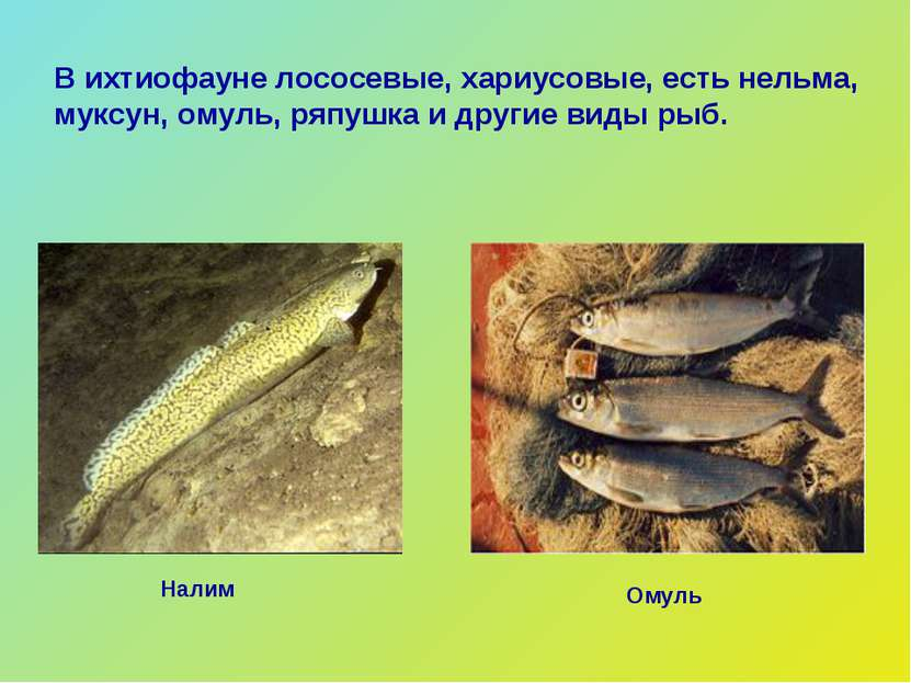Омуль Налим В ихтиофауне лососевые, хариусовые, есть нельма, муксун, омуль, р...